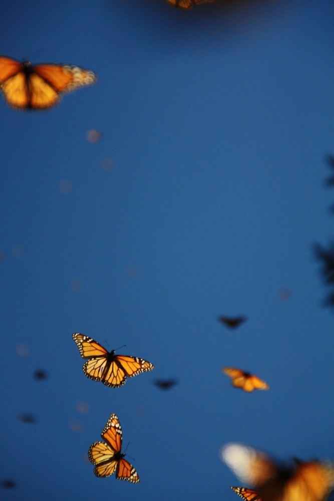 Papillons Monarques 7