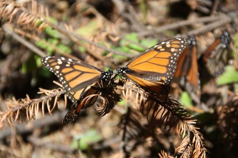 Papillons Monarques 6