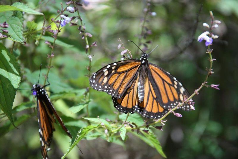 Papillons Monarque 9
