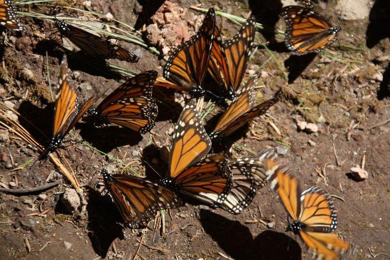 Papillons Monarque 10