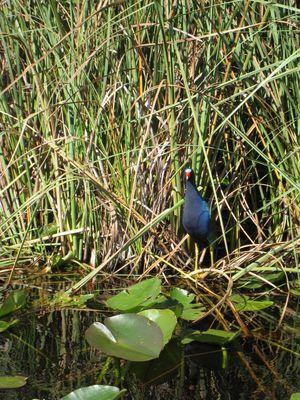 Everglades 8