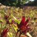 Fleur de bissap