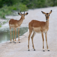 Springboks à Etosha