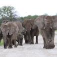 Eléphants à Etosha