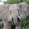 Eléphant à Etosha