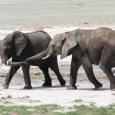 Eléphants sur le pan d'Etosha