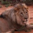 Lion dans la réserve dErindi