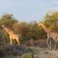 Girafes à Etosha