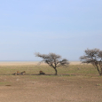 Lions à Etosha