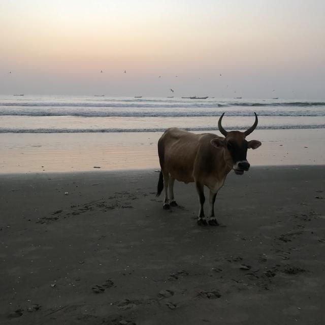 Vache sur la plage des pêcheurs