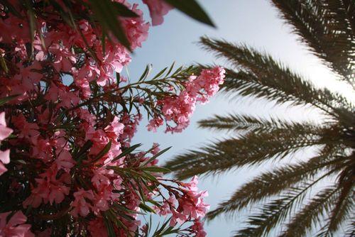 Bougainvillier et palmier
