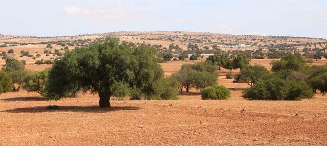 Sur la route d'Essaouira, les arganiers